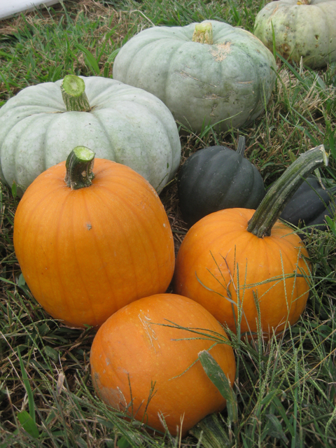 "acorn squashes are the small, dark ""acorn""-shaped variety"
