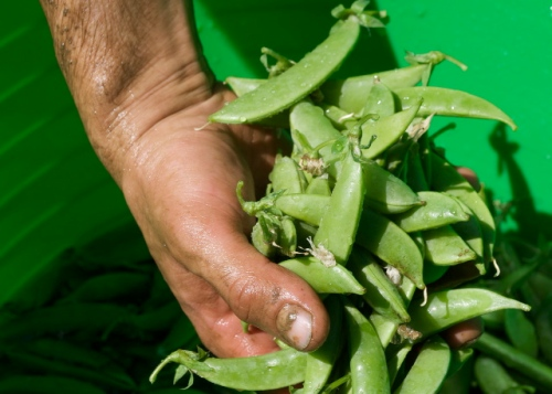 sugar snap peas — a healthy delicious snack