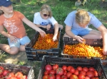 My helpers searching for split sun gold cherry tomatoes