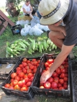 Counting tomatoes, a harvest day chore