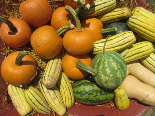 The striped ones are thin-skinned delicata squash.