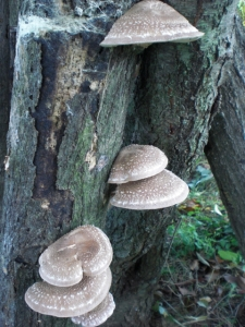 A lucky few CSA members will get shiitakes fresh from our mushroom logs