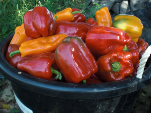 Late August brings colorful and super-sweet peppers