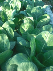 Collard greens are a nutrient-packed staple of Southern cooking