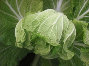 Napa cabbage leaves are thinner, sweeter and more delicate than regular cabbage