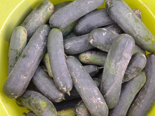 Big flavorful cucumbers, perfect for a cool summer snack