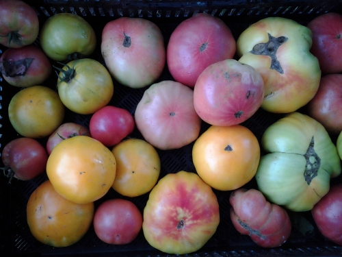colorful (and a few colossal) heirloom tomatoes