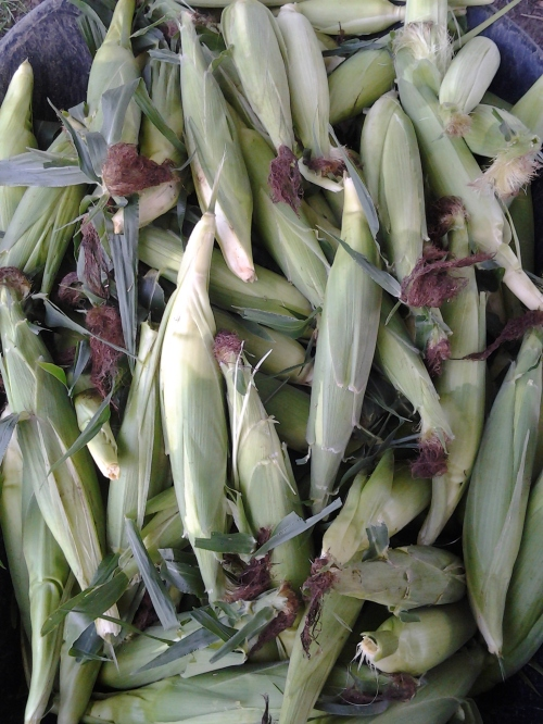 Another pile of sweet corn is on the way
