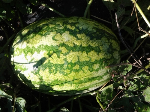 yes, late September is an odd time for watermelon