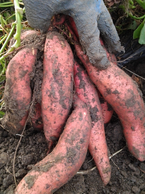 sweet potatoes are a southern specialty that grow surprisingly well up north