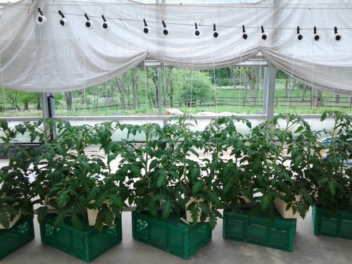Greenhouse tomato plants back in mid-May