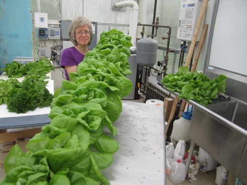 Beth displays a row of hydroponic butter lettuce that's ready for harvest.