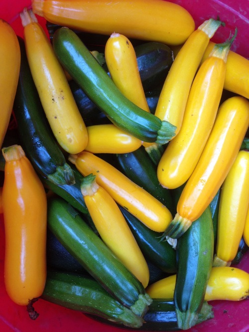 bright colors of summer squash