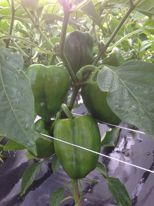 Time to thin the peppers. We'll pick the biggest green ones and let the rest mature to red and orange!