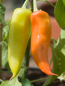 This smaller, yellow pepper is a Hungarian hot wax pepper