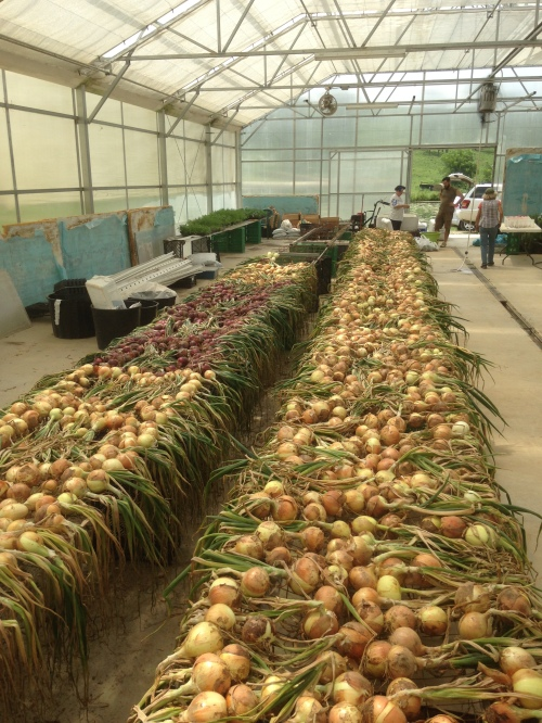Sweet onions drying in the greenhouse. Just a couple...