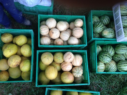 Beth has grown a beautiful selection of sweet melons
