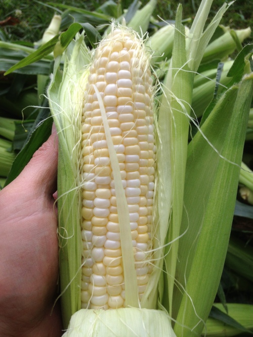 I'm happy with the first corn harvest, cow nibbles and all