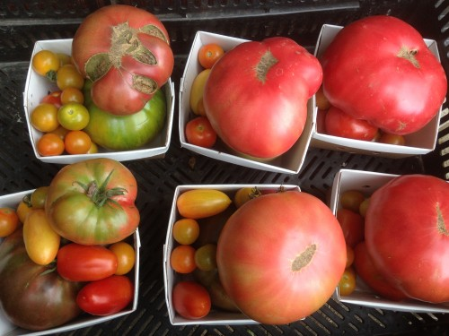 The heirloom tomatoes are coming on fast and furious