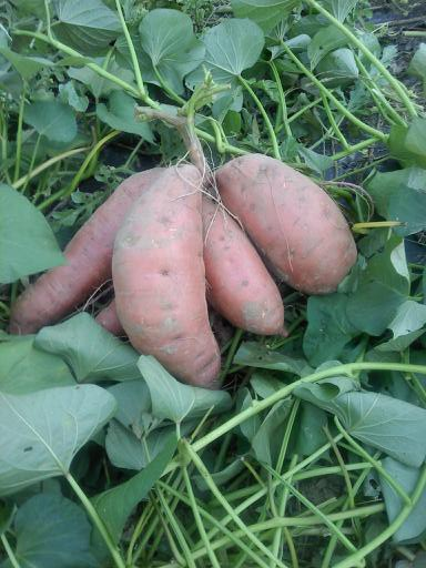 "red-skinned, orange-fleshed sweet potatoes are sometimes called ""yams"" in the USA"